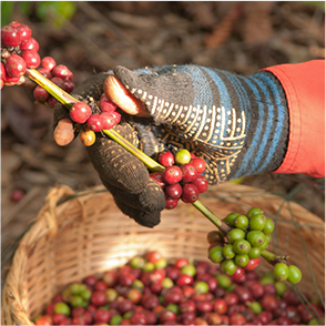 Canterbury Coffee cherries being harvested by a gloved hand