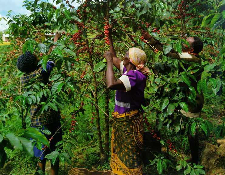 picking arabica coffee cherries