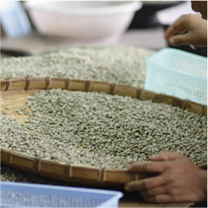 Green coffee beans being processed