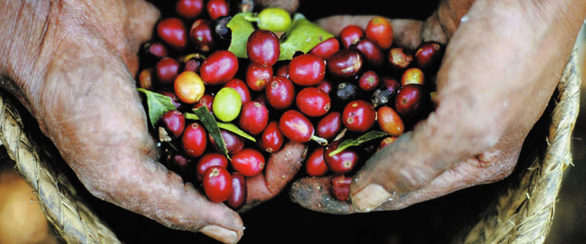 Canterbury Coffee certified organic coffee beans being held by two hands